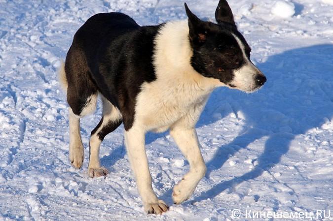 В Кинешме ловят бродячих собак фото 2