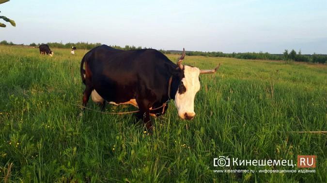 Кинешемские чиновники вынудили многодетную семью забить корову - кормилицу фото 15