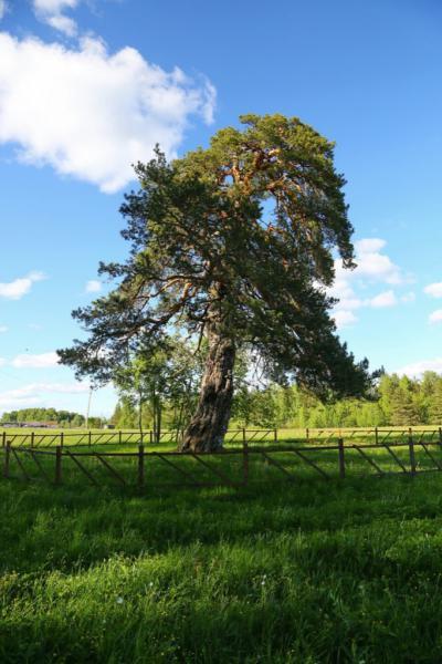 Сосна из Ивановской области претендует на звание «Российское дерево года» фото 2