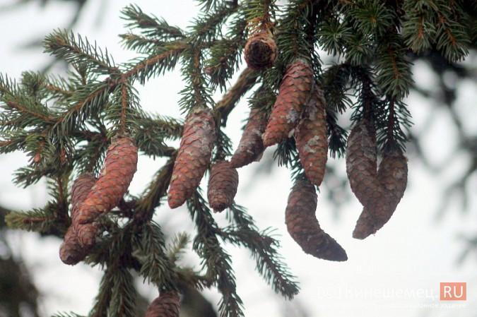 В Кинешму привезли главную новогоднюю елку фото 12