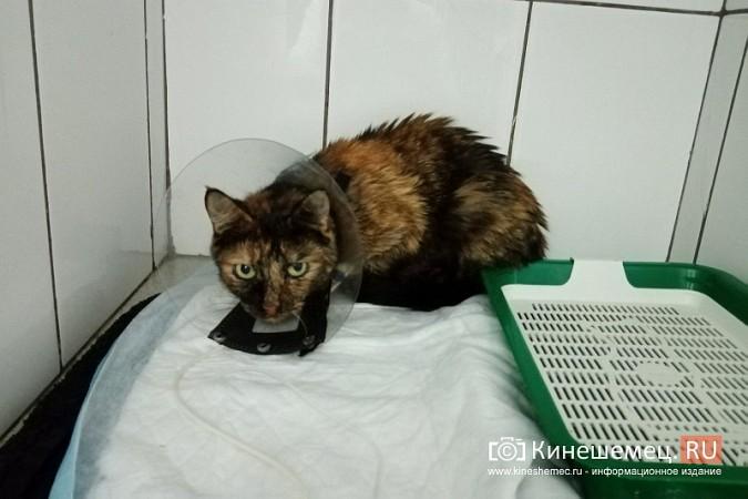 Кинешемский бизнесмен за 800 тысяч рублей пересадил почку любимой кошке фото 4