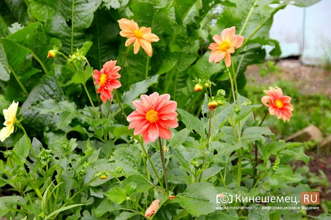 У пятиэтажки на улице Воеводы Боборыкина жители вырастили шикарный цветник фото 4