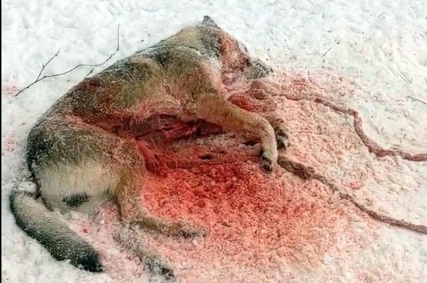В Кинешемском районе волк разорвал двух собак фото 2